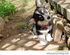 Adorable cute Corgi puppy