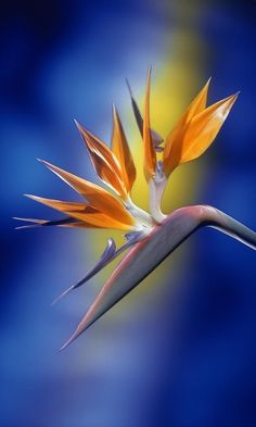'Bird of Paradise' ~ This spectacular flower shape...resembles a bird's beak and head plumage. Color scheme similar as well.