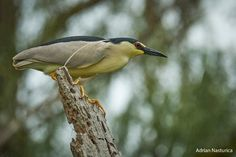 _NAP9580-3 Danube Delta, Boat Tours, Bird Watching, Animals, Animales, Animaux, Animal, Animais
