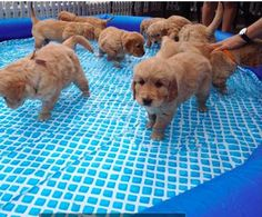 Puppy pool party