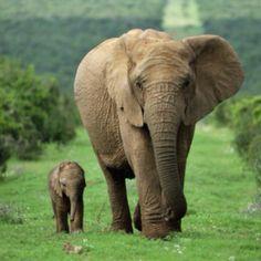 Elephants - mom and baby.