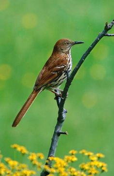 Brown Thrasher - State Bird of Georgia