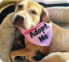 American Staffordshire Terrier Mix Dog for adoption in Dallas, Texas - Alexi