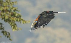 Photo Rufous Necked Hornbill Airlines by Rupam Chatterjee on 500px