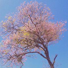 #lapachos en  #spring #flowers #Asunción #Paraguay #primavera