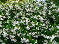 Star Jasmine Trachelospermum Jasminoides, better known to her friends as Star Jasmine, she is a stand-out. She's one of our favourites and she'll soon be yours too. Select the tough Star Jasmine plant for hedges, covering walls or ground cover. Evergreen Climbers, Evergreen Vines, Jasmine Star, Trachelospermum Jasminoides, Landscaping Plants, Garden Plants, Climbing Vines, Front Yards, Climbing Roses