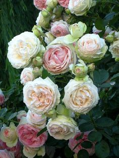swansong-willows:   old english roses by candy_rose on Flickr(via Pin by Nina Eary on Fru-Fru Flowers! | Pinterest)