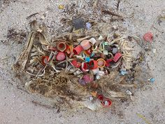 Chris Jordan is a photographer known for his stunning photos of the plastic-filled corpses of young albatross on Midway Island. Chris Jordan, Great Pacific Garbage Patch, Plastic Problems, Marine Debris, Plastic Pollution, Ocean Pollution, No Plastic, Plastic Waste, Sea Birds