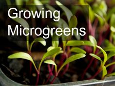 Microgreens Tutorial How to plant, grow and use in the kitchen