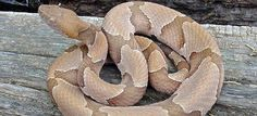 Copperhead Scary Snakes, Spiders And Snakes, Poisonous Snakes, Texas Snakes, Only In Texas, Meditation Room Decor, Snake Venom, Reptiles And Amphibians, Cute Animals