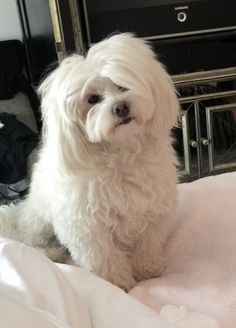 Stella ~ my Godchild and the baby of my best friends. Cute Creatures, Beautiful Creatures, Maltese Dogs, Teacup Maltese, Cute Puppies, Dogs And Puppies, Most Cutest Dog, Pet Dogs, Dog Cat
