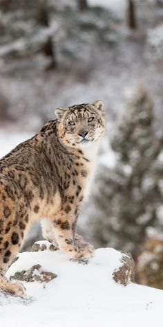 One of the hardest animals to spot in the wild - The Snow Leopard