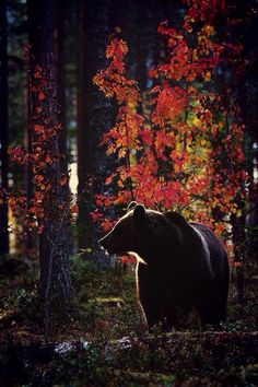 Peaceful bear in deep forest autumnal light