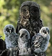 mother owl and babies