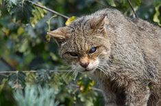 Populaces of UK's most significant untamed life have dove since 1970 - earthwakes Big Cats, Cats And Kittens, Big Cat Species, Spotted Animals, Habitat Destruction, Cairngorms National Park, Warrior Cats, Pet Birds, Mammals