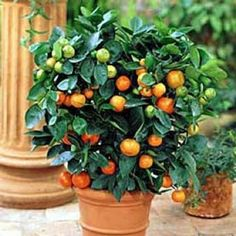"Fresh Navel Oranges direct from your patio container garden! Bears seedless 3"" fruit from mid fall to mid spring. (Move plants indoors for winter in Northern zones.) Kit includes one plant, 10"" pot with saucer and soil. Ships in a 4"" pot. Citrus sinensis 'Washington Naval' - See more at: http://www.springhillnursery.com/product/navel_orange_tree_kit-citrus_sinensis_washington_navel/citrus_plants#sthash.uWp9Vw4n.dpuf"