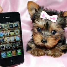 Yorkie.   Too cute.  And so tiny.