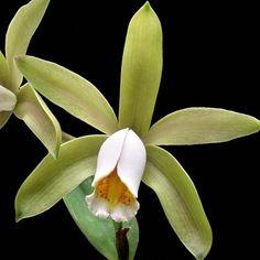 Orquídea Cattleya forbesii - AD - Orquidário 4 Estações