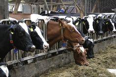 Cows, Food, Eat, Farm, Lower Saxony - Free Image on Pixabay