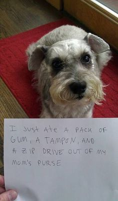 Aww how can you get mad at an adorable mini schnauzer , you can't