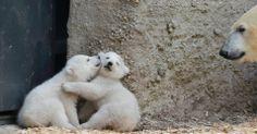 Filhotes gêmeos de urso polar são apresentados em zoo da Alemanha - Fotos - UOL Notícias