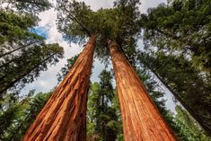 Types Of Trees 101 [All You Need To Know] Sequoia National Park California, National Park Tours, Grand Teton National Park, Yellowstone National Park, National Parks, California Usa, Northern California, West Coast Road Trip, Pacific Coast Highway