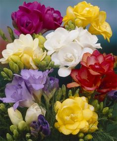 Photo: Double Freesia Mixture Time to plant bulbs in Southern California; Freesias are my favorite. Easy to grow and so fragrant! Freesia Flowers, Bulb Flowers, Perennial Flowering Plants, Flowering Trees, Fall Plants, Garden Plants, Planting Bulbs, Planting Flowers, Amazing Flowers