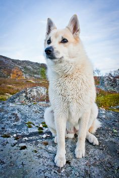 norwegian Buhund photo   Recent Photos The Commons Getty Collection Galleries World Map App ...