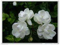 jasmine flower .