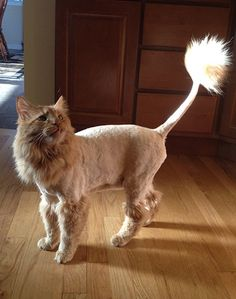 As the name indicates, a Maine Coon lion cut is way of shaving this breed to look exactly like a lion. Check out some pictures of Maine Coons with a lion cut and decide would you give it yours or not. Cat Lion Cut, Cut Cat, Cat Lion Haircut, Shaved Animals, Shaved Cat, Cat Hacks, Gatos Cats, Like A Lion, Maine Coon Cats