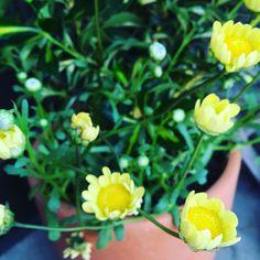 2017・5・22(月)  暑い日差しの月曜日です☀️ 新しい一週間の始まりですね〜‼︎ 今週も、元気に過ごせますように〜(*^^*) 本日もみなさま、素敵な1日を〜♡ #flower #flowers #flowerslovers #flowerstagram #nature #naturephotography #naturelovers #plants #green #gerden #yellow #morning #cute #花 #花部 #花好き #はな #おはよう #素敵な1日を #新しい一週間 #花のある暮らし http://gelinshop.com/ipost/1520059858983705962/?code=BUYVmNcDd1q