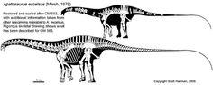 Apatosaurus excelsus par Scott Hartman