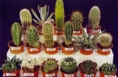 Определитель Голландских кактусов   Планета кактусов