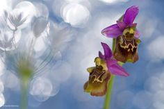 Image: Orchid in a flush of garlic by #WPYalumni Sandra Bartocha Photography, Germany. Highly commended 2010, In Praise of Plants and Fungi.