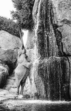 Dinge, die du brauchst, wenn du von Elefanten besessen bist African elephant reaching for leaves by a waterfall (zoo habitat?)African elephant reaching for leaves by a waterfall (zoo habitat? Photo Elephant, Funny Elephant, Elephant Love, Elephant Facts, Elephant Camp, Elephant Images, Elephant Pictures, Animals And Pets, Funny Animals