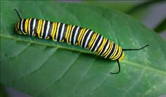 The Monarch Caterpillar which will one day become a Monarch Butterfly (Nikon D700 using the 60mm macro - 1/125th sec at f8). Photo by Dick Pratt.