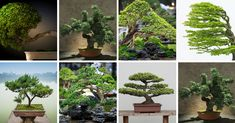 """Bonsai is a Japanese word which means """"Planted in a container"""". While it's a Japanese term, the art of growing plants and trees in containers started with the Chinese which they called """"pun-sai"""". Buy Bonsai Tree, Japanese Bonsai Tree, Bonsai Tree Types, Bonsai Tree Care, Conifer Trees, Deciduous Trees, Herb Garden Kit, Household Plants, Baobab Tree"""