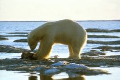 A polar bear eats its kill along the coastline of Alaska. Ecological changes wrought by global climate change have brought starvation to many polar bears in the Arctic.