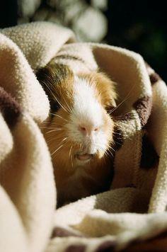 Pet Guinea Pig Very Cozy
