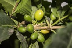 Arabica vs. Robusta Coffee Beans COFFEE : More at FOSTERGINGER @ Pinterest