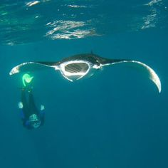 """""""My husband recently took this photo of me snorkelling with a Manta Ray at Hane Moe Noa Bay in the Marquesas Islands. About 20 Manta Rays came into the bay every morning to feed on plankton. It was incredible. A friend and I also rescued a ray that was trailing a long length of fishing line that prevented it from diving. It came to visit us every morning as well"""" Sheryl Wright #mantaray #diver"""