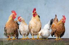 Chickens And Roosters, Pet Chickens, Chickens Backyard, Animals In The Bible, Animals Of The World, Keeping Chickens, Raising Chickens, Poultry Management, Uhd Wallpaper