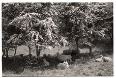 Sheep lying under May bushes on a hot day by James Ravilious © Beaford Arts
