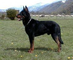 Purbred Beauceron | Photo No 10 de Beauceron photos race de chien et chiot Beauceron lof