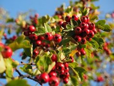 The Hawthorn Berry Benefits