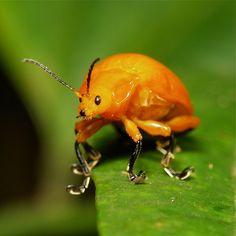 Golden Leaf Beetle..crazy feet!