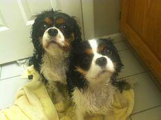 Cavalier King Charles Spaniels Parker (3yrs) and Peyton (1yr).  #bathtime #cuteness #CKCS