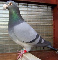 Racing Pigeon Lofts, Pigeon Breeds, Homing Pigeons, Dove Pigeon, Decoupage Printables, Best Stocks, Beautiful Birds, Pet Birds, Animals And Pets