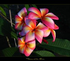 "Here is another shot of the plumeria ""Flames of the Sun"". The fragrance is sweet with a hint of grape syrup. This is a great plumeria and the colors are so vibrant, the flowers really stick out among the other plumies. This rare plumeria is a collector for sure !"