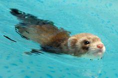 swim swim swim < awww cute little ferret. Ferrets Care, Baby Ferrets, Funny Ferrets, Pet Ferret, Cute Funny Animals, Cute Baby Animals, Animals And Pets, Cute Creatures, Beautiful Creatures